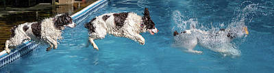 Photograph - When English Springer Spaniels Fly by Steve Harrington