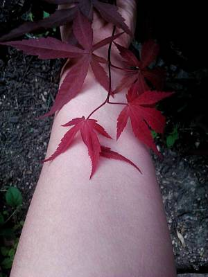 Photograph - When Life Gives You Japanese Maple Leaves... by Brynn Ditsche
