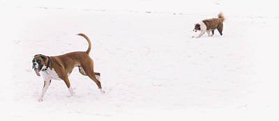 White Boxer Dog Photograph - When You See Snow For The First Time  by Martin Newman