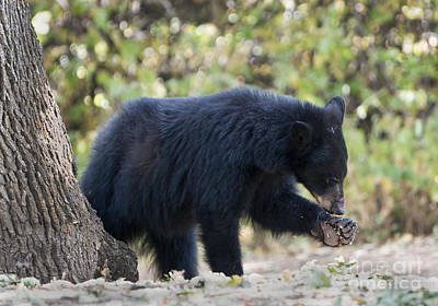 Black Bear Photograph - Where Is That Thorn by Mike Dawson