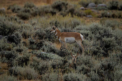 Photograph - Where The Antelope Play by Laddie Halupa