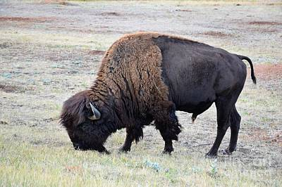 Photograph - Where The Buffalo Roam by Kathy M Krause