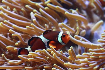 Clown Fish Photograph - Where's Nemo by Paul Slebodnick