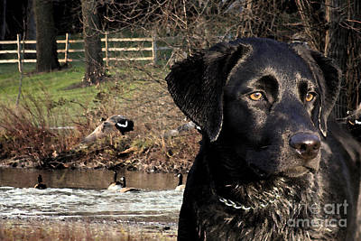 Labrador Digital Art - Where's The Geese Labrador 4 by Cathy  Beharriell