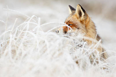 Which Fox....where? Art Print by Roeselien Raimond
