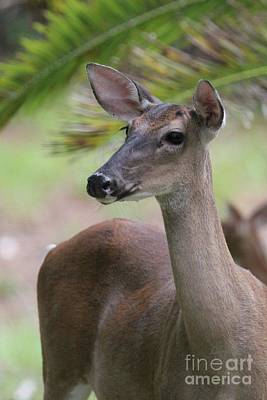 Photograph - White Tail Doe Closeup Portrait by Dodie Ulery