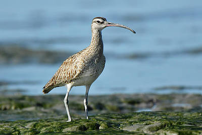 Photograph - Whimbrel by Alan Lenk