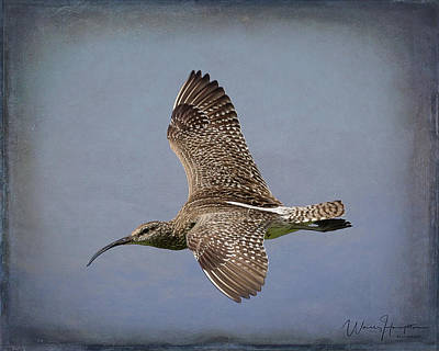 Photograph - Whimbrel - 1627,st by Wally Hampton