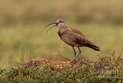 Photograph - Whimbrel Hunting On The Tundra by Myrna Bradshaw