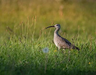 Whimbrel  One Of The Most Wide-ranging Art Print