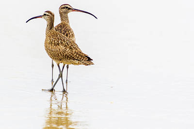 Photograph - Whimbrel Sandpiper On The Beach by Randy Bayne