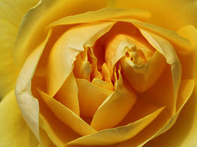 Yellow Rosebud Photograph - Whipped Butter by Connie Handscomb