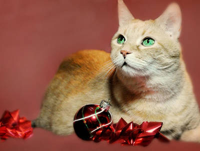 Marble Eyes Photograph - The Christmas Cat by Diana Angstadt