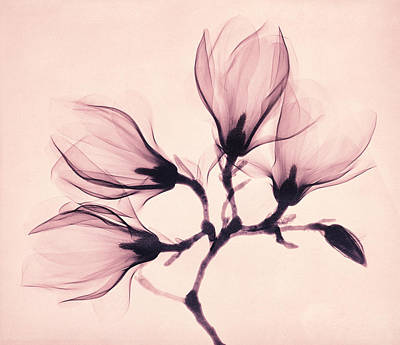 X-ray Painting - Whisper Magnolia by Mindy Sommers