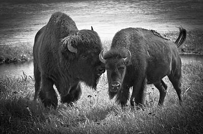 Photograph - Whispering Bison by Thomas Gaitley