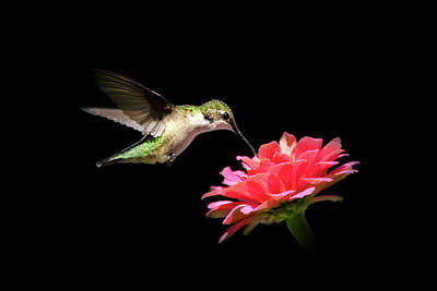 Photograph - Whispering Hummingbird by Christina Rollo