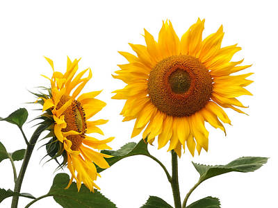 Photograph - Whispering Secrets Sunflowers On White by Gill Billington