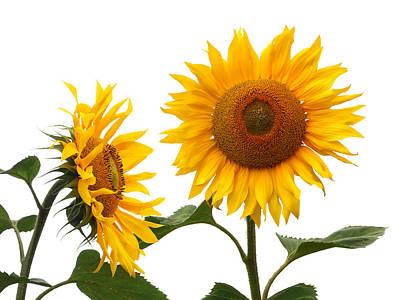 Photograph - Whispering Secrets Sunflowers On White by Gill Billington