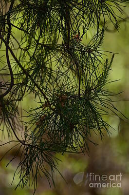 Photograph - Whispering Spring Pines by Maria Urso