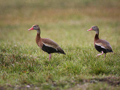 Photograph - Whistling Duck Pair by Charles McKelroy