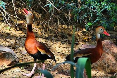 Photograph - Whistling Ducks 2 by Kathryn Meyer