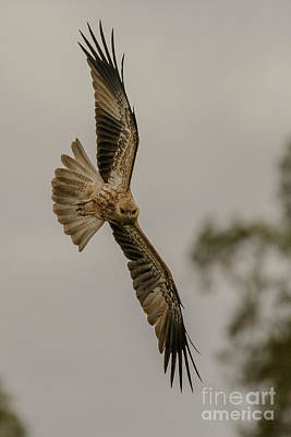 Photograph - Whistling Kite 01 by Werner Padarin