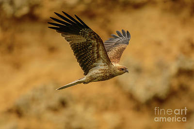 Photograph - Whistling Kite 02 by Werner Padarin