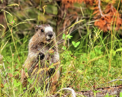 Photograph - Whistling Marmot by Roxie Crouch