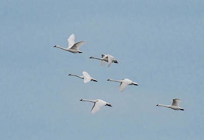 Photograph - Whistling Swan In Flight by Donald Brown