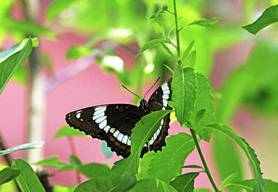 Photograph - White Admiral by Debbie Oppermann