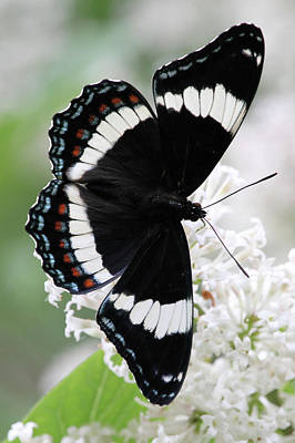 Photograph - White Admiral by Doris Potter