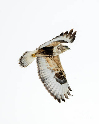 Hawk Photograph - White Against White by Mike Dawson