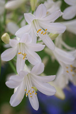 Photograph - White Agapanthus by Lynn Bauer