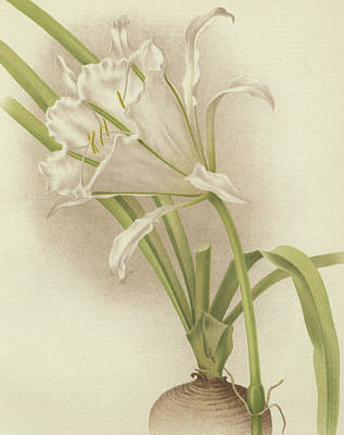 Spring Bulbs Drawing - White Amaryllis   Ismene Andreana by English School