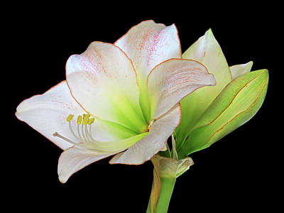 Photograph - White Amaryllis On Black by Gill Billington