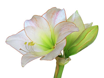 Photograph - White Amaryllis On White by Gill Billington