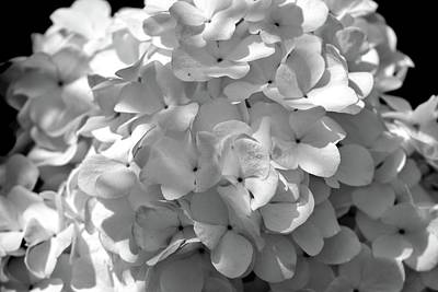 Photograph - White And Black Hyrandgeas Blossom Flower by Sheila Mcdonald