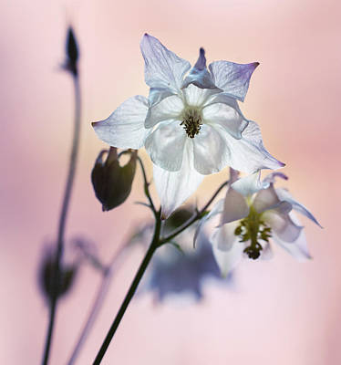 Photograph - White And Blue Columbine Flowers by Jaroslaw Blaminsky