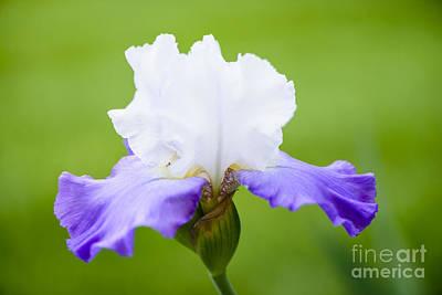 Irises Photograph - White And Blue Iris by Oscar Gutierrez