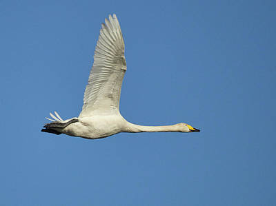 Photograph - White And Blue. Whooper Swan by Jouko Lehto