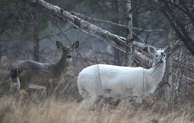 Photograph - White And Brown Deer Pano 2 by Brook Burling