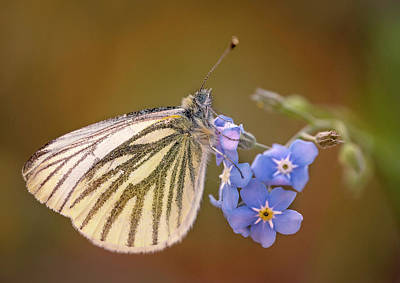 Photograph - White And Creamy Butterfly On Forget Me Not Flower by Jaroslaw Blaminsky