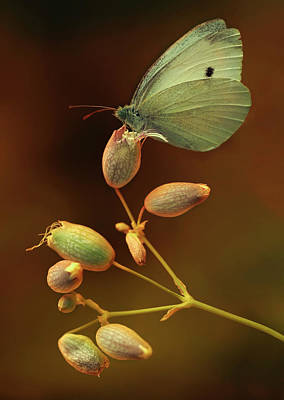 Photograph - White And Green Butterfly On Dried Flowers by Jaroslaw Blaminsky