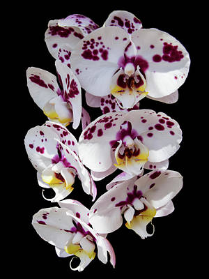 Photograph - White And Magenta Orchids by Bob Slitzan
