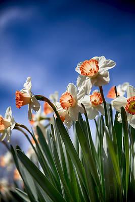 Photograph - White And Orange Daffodils On A Blue Sky by John Haldane