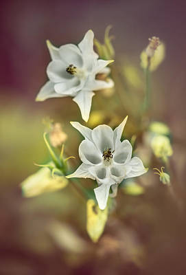 Photograph - White And Pastel Yellow Columbine Flowers by Jaroslaw Blaminsky