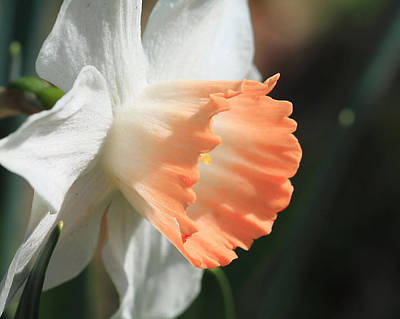 Photograph - White And Peach Daffodil by Angela Murdock