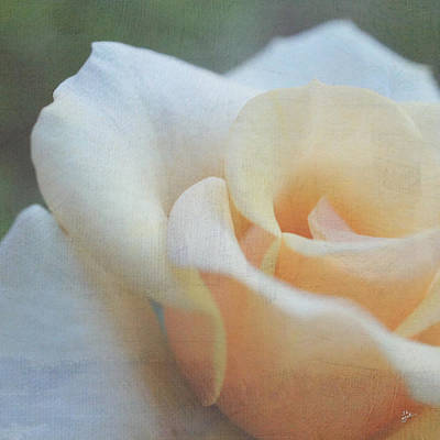 Photograph - White And Peach Rose by TK Goforth