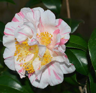 Photograph - White And Pink Camellia by Aimee L Maher Photography and Art Visit ALMGallerydotcom