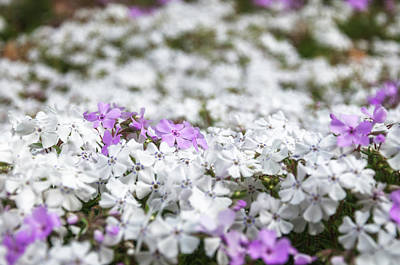 Photograph - White And Pink Flowers At Botanic Garden In Blue Mountains by Daniela Constantinescu